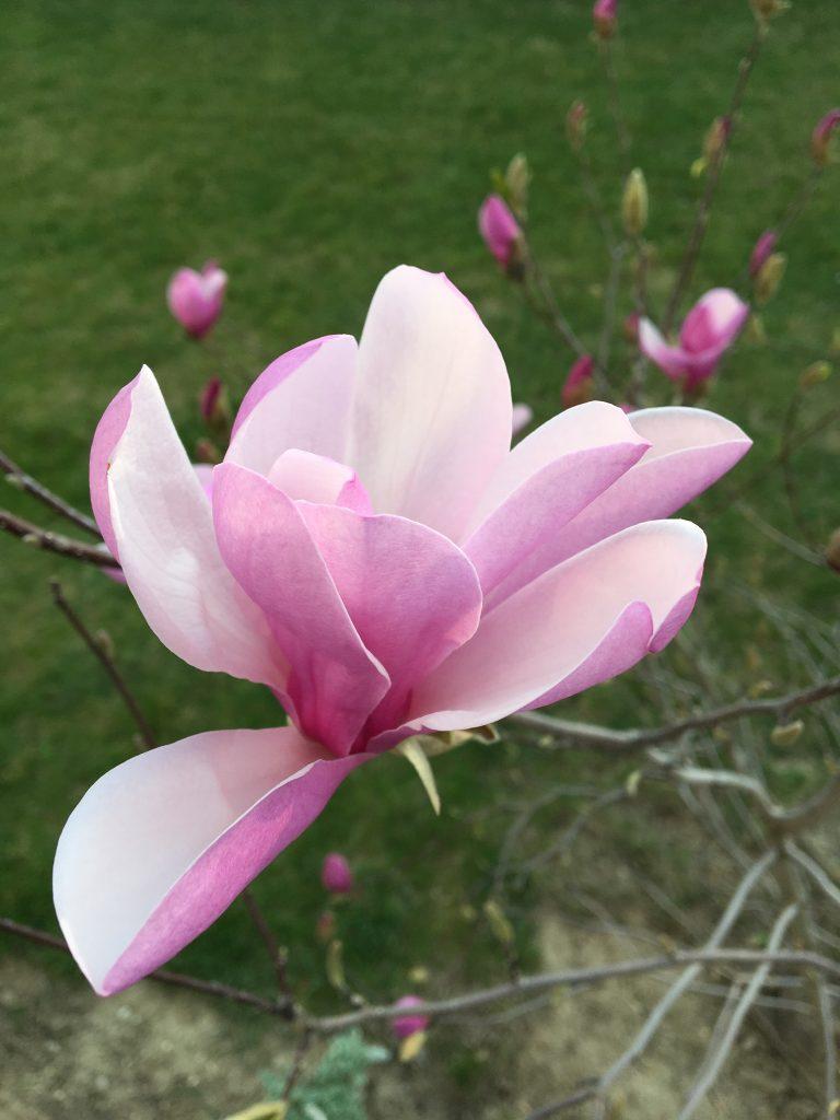 """Magnolia """"Susan"""""""