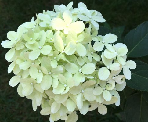 Hortenzia metlinatá