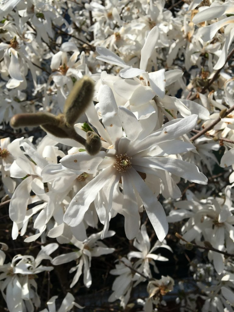 Magnólia hviezdokvetá, (Magnolia stellata)