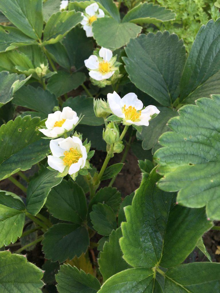 Jahoda záhradná