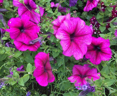 Petúnia záhradná