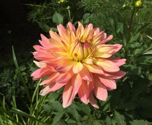 Georgína, (Dahlia), (Asteraceae - astrovité)