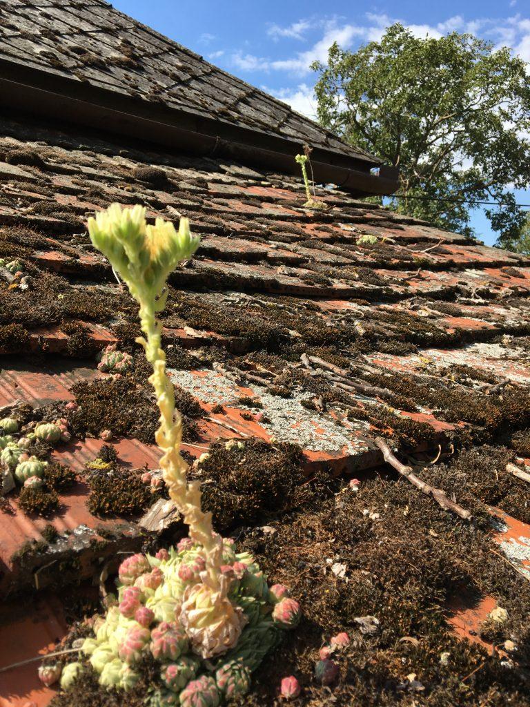 Skalnica strechová, skalná ruža