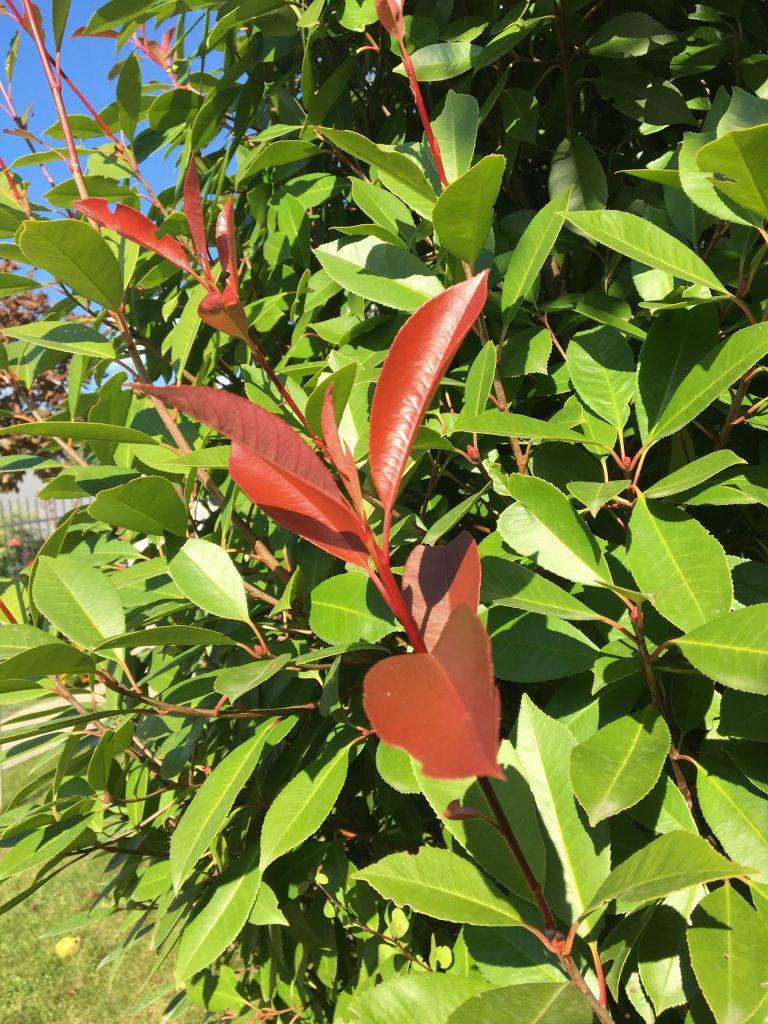 Fotínia, Photinia fraseri