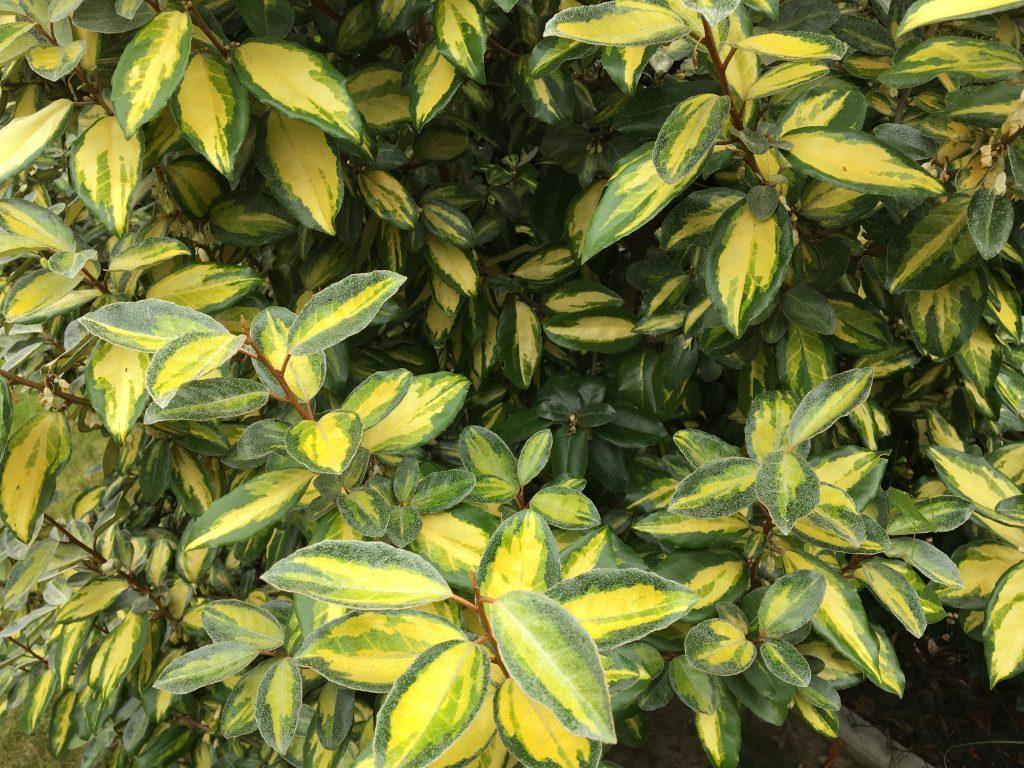 Hlošina ebbingeova, ruská oliva