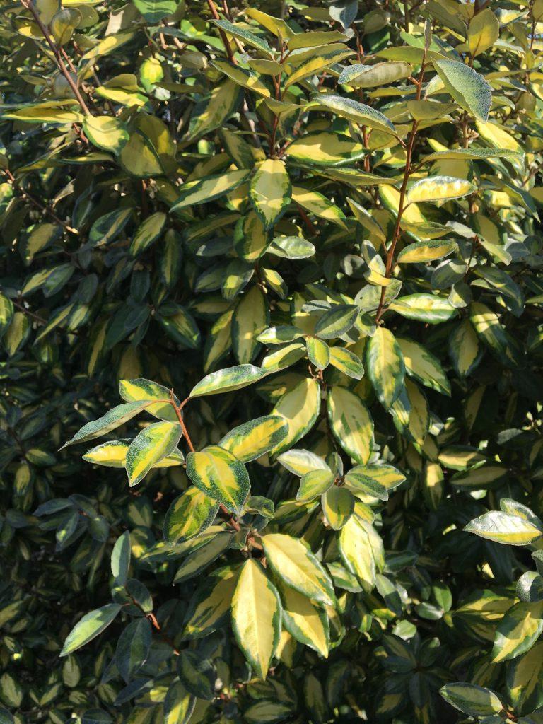 Hlošina ebbingeova, ruská oliva, (Elaeagnus ebbingei)