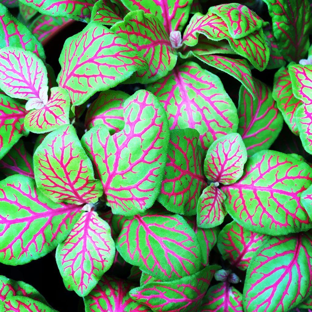 Fitónia, Fittonia albivenis