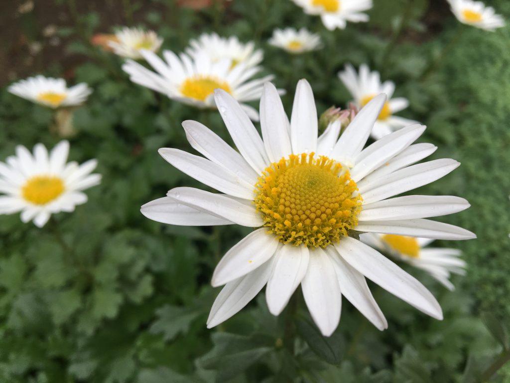Chryzantéma skalková, (Chrysanthemum arcticum)