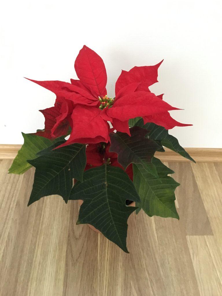 Vianočná ruža (Euphorbia pulcherrima)