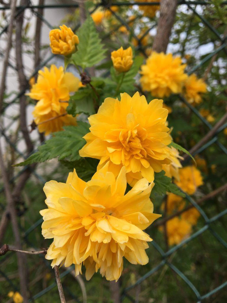 Kéria japonská (Kerria japonica)