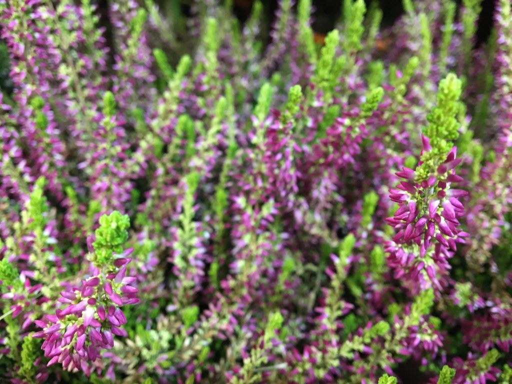 Vres obyčajný (Calluna vulgaris)