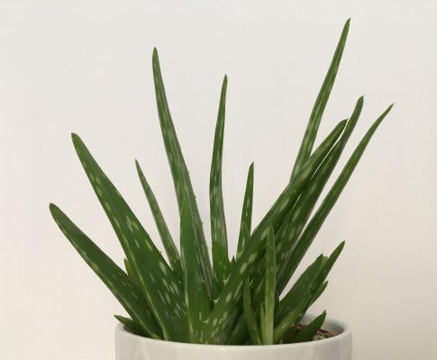 Aloa pravá, (Aloe vera)