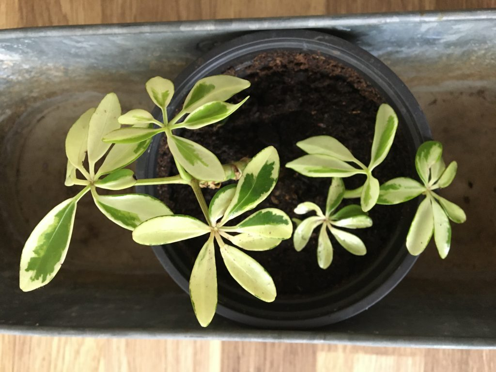 Šeflera stromovitá, (Schefflera arboricola