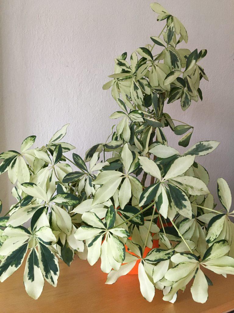 Šeflera stromovitá, (Schefflera arboricola)