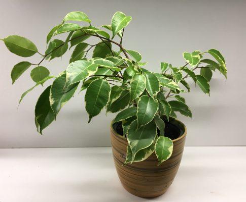 Fikus benjamín (Ficus benjamina)
