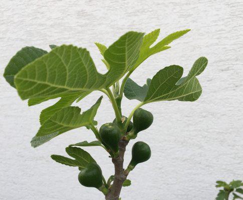 Figovník obyčajný (Ficus carica)