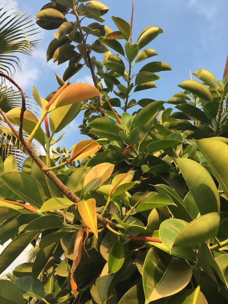 Figovník kaučukový, (Ficus elastica)