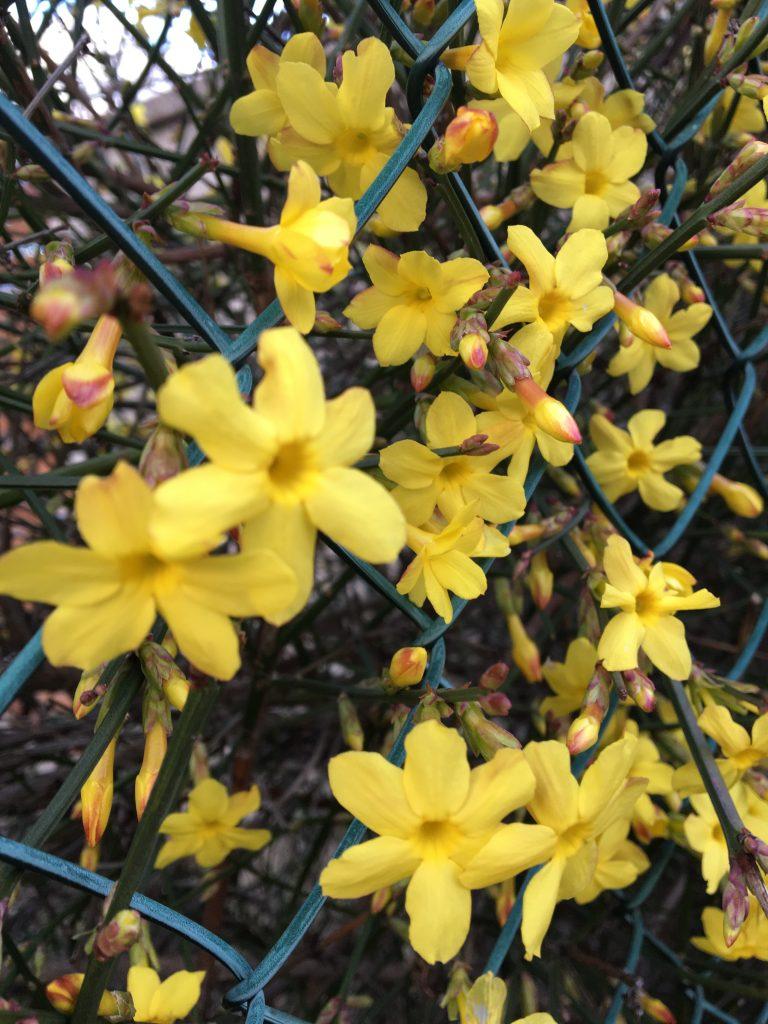 Jazmín nahokvetý, (Jasminum nudiflorum)