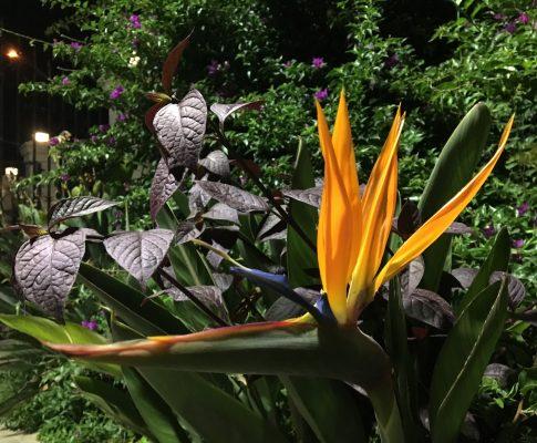Strelícia kráľovská, Strelitzia reginae