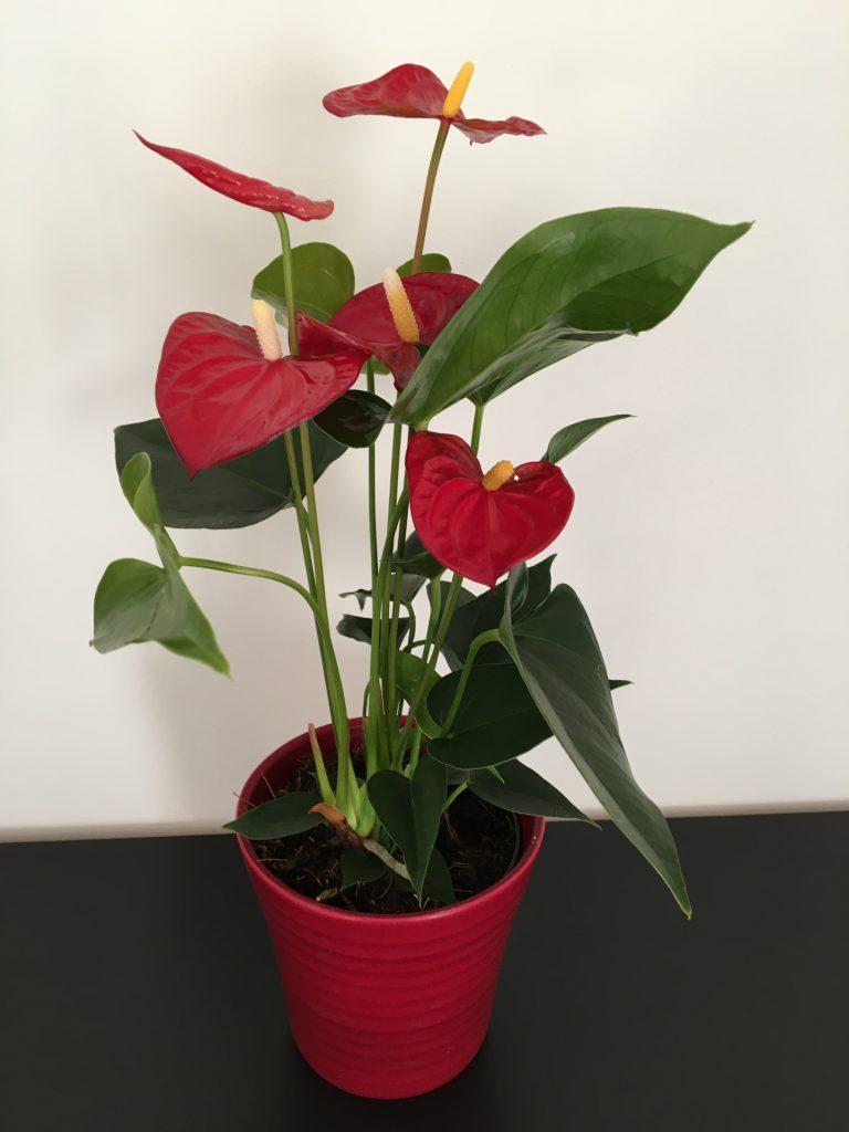 Antúria, Antúrium andreanovo, Anthurium andraeanum