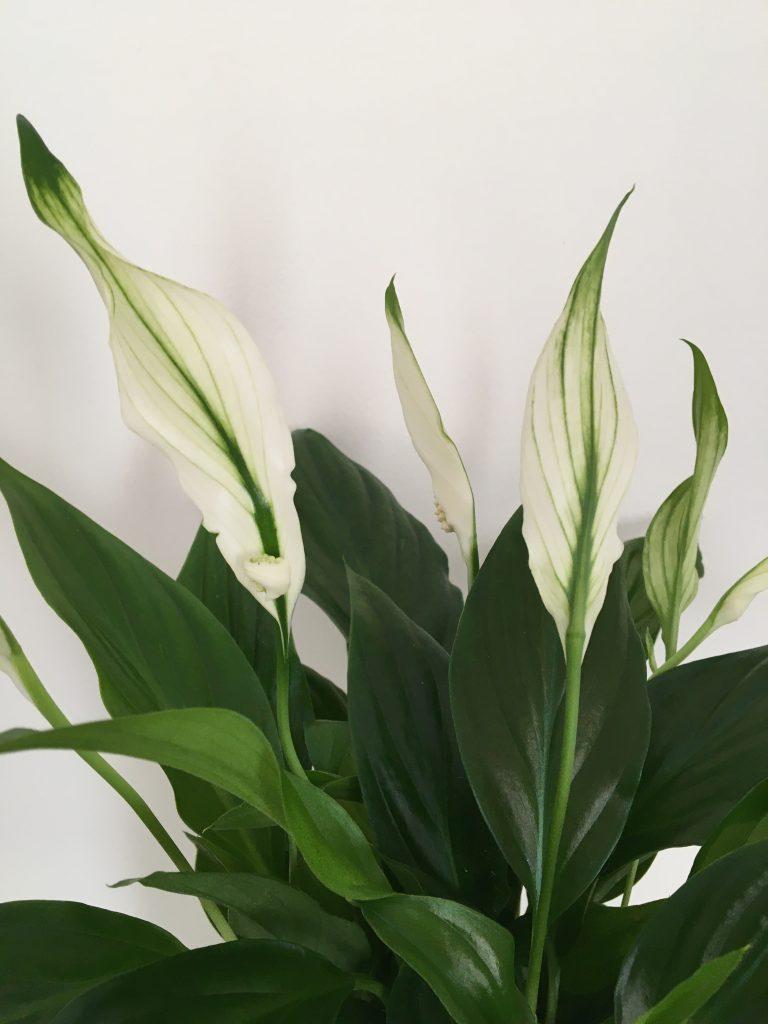 Lopatkovec, Spathiphyllum, (Araceae - áronovité)
