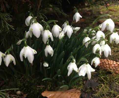 Snežienka jarná (Galanthus nivalis)