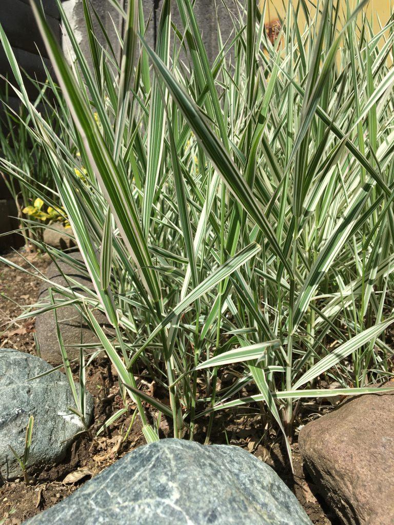 Chrastnica rákosovitá, (Phalaris arundinacea, var. ´Picta,)