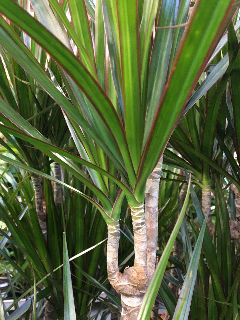 Dracéna lemovaná (Dracaena marginata)