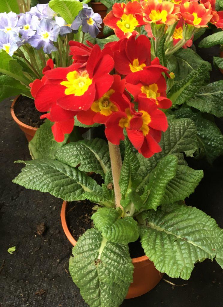 Prvosienka vyššia, (Primula elatior)