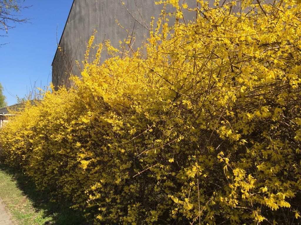 Zlatovka prostredná, (Forsythia intermedia)
