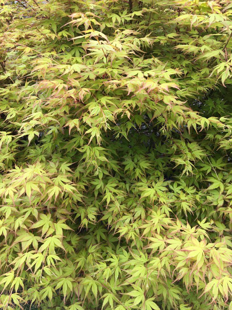 Javor dlaňovitolistý, (Acer palmatum)