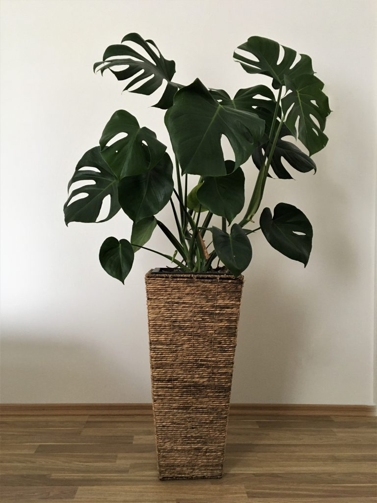 Monstera skvelá, Monstera deliciosa