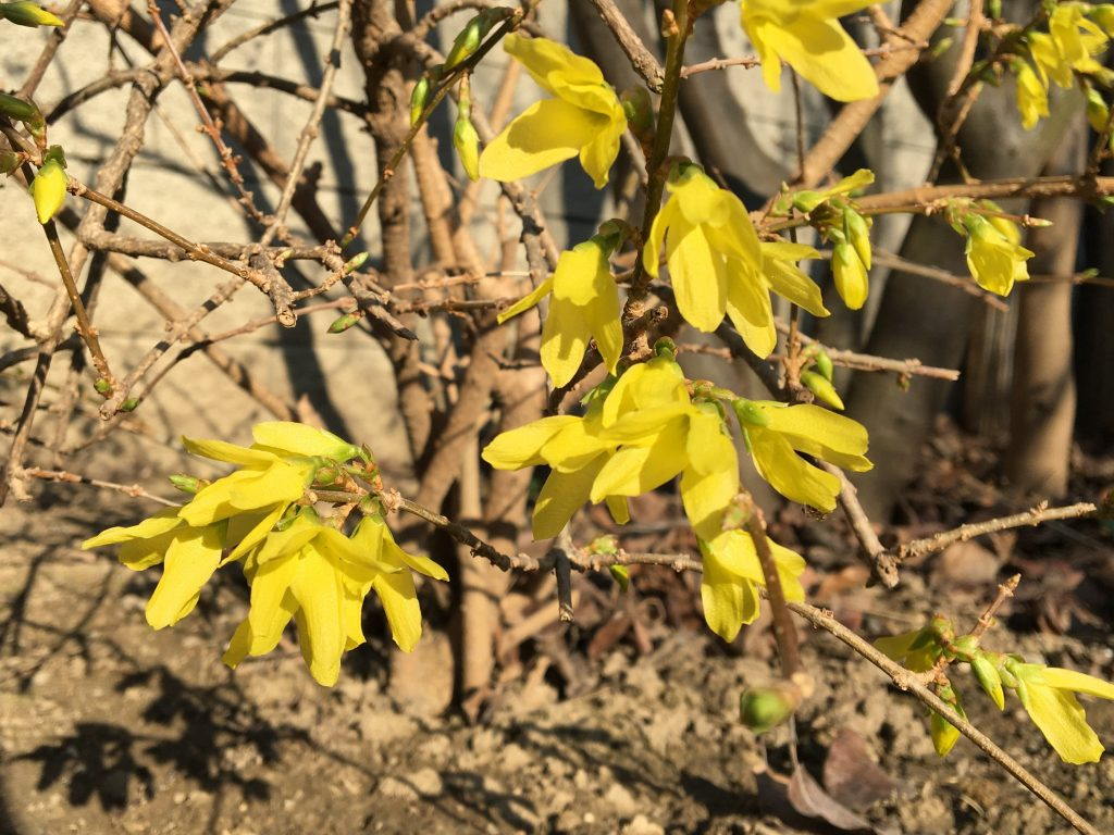 Zlatovka previsnutá (Forsythia suspensa)