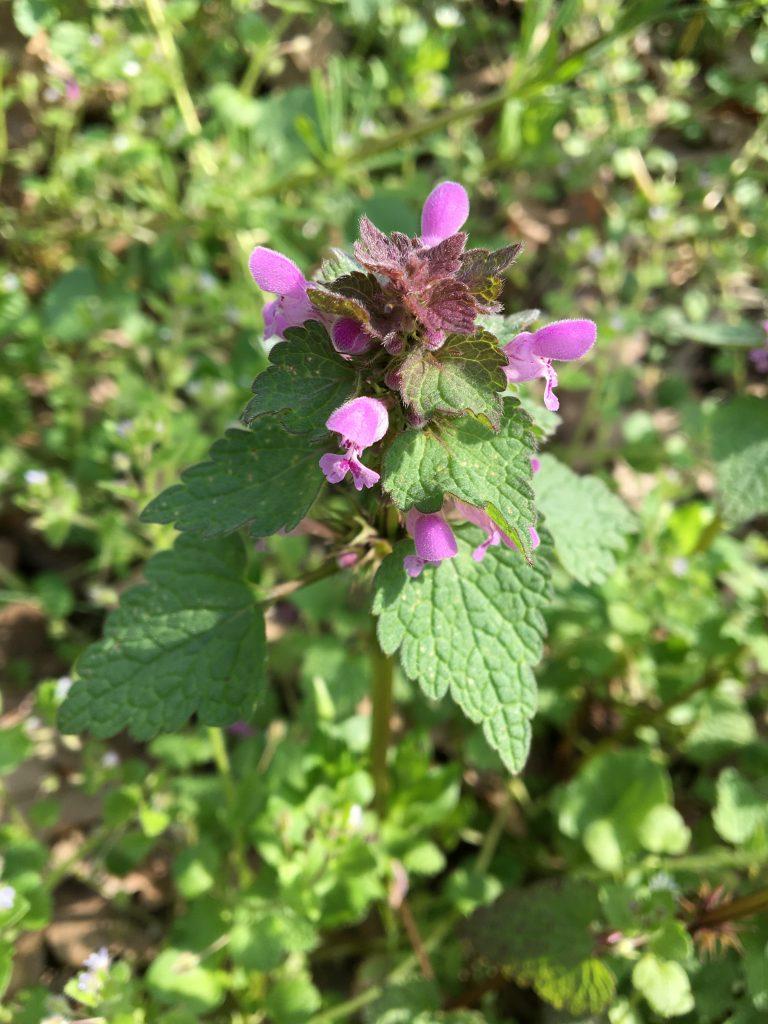 Hluchavka purpurová, (Lamium purpureum)