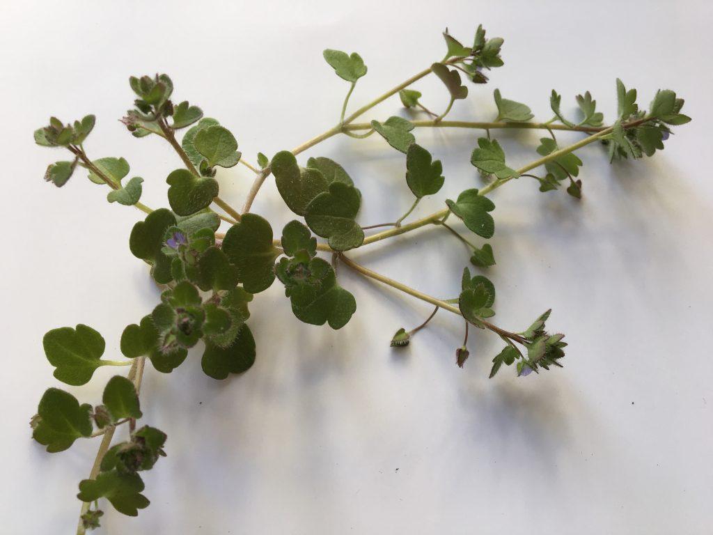 Veronika brečtanolistá (Veronica hederifolia)
