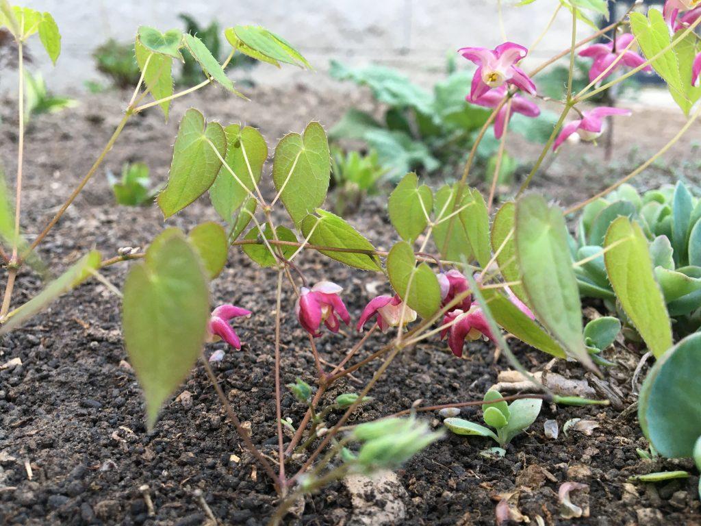 Krpčiarka alpská, (Epimedium alpinum)