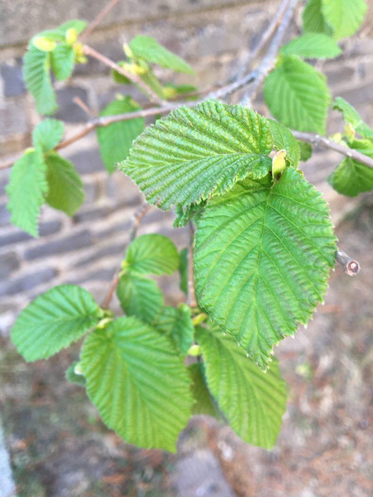 Lieska obyčajná (Corylus avellana)