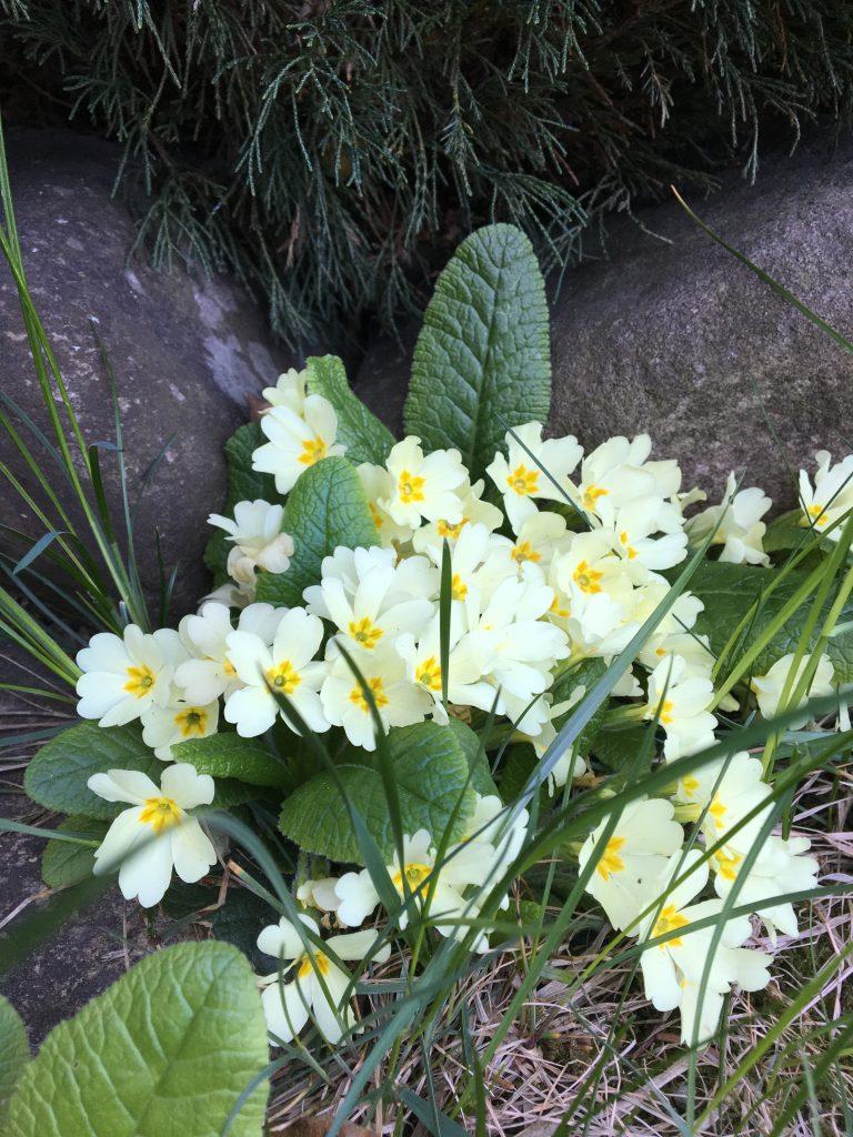 Prvosienka bezbyľová (Primula acaulis)