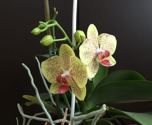 Lišajovec (orchidea phalaenopsis)