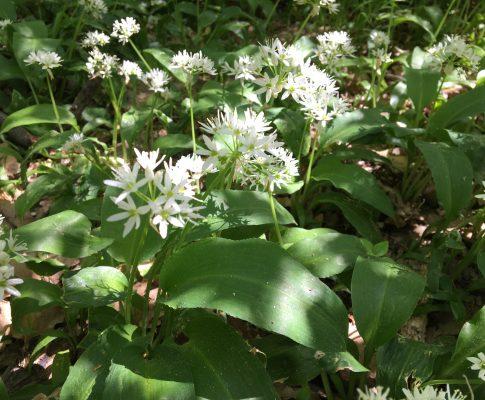 Medvedí cesnak, (Allium ursinum)