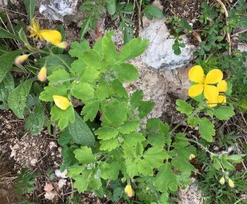 Lastovičník väčší, (Chelidonium majus)