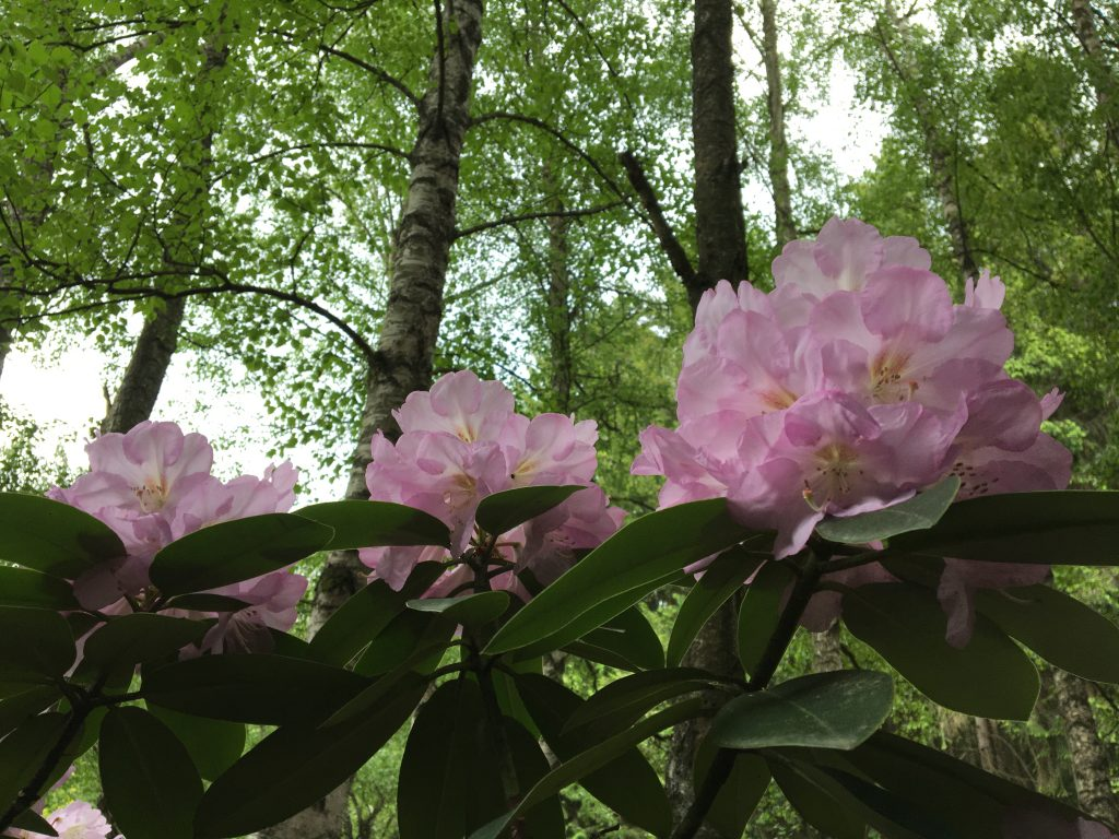 (Rhododendron)