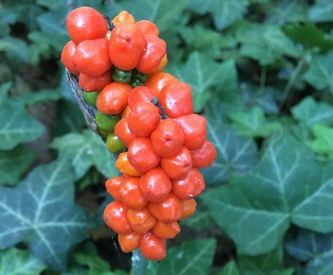 Áron alpínsky (Arum alpinum)