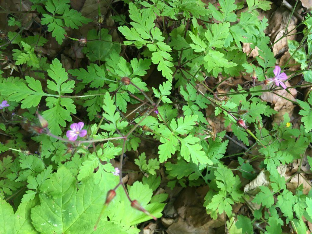 Pakost smradľavý, (Geranium robertianum)