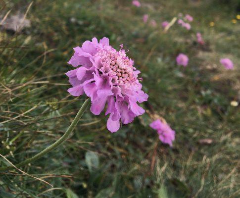 Hlaváč fialový (Scabiosa columbaria)