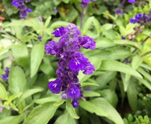 Šalvia modrá, (Salvia farinacea)