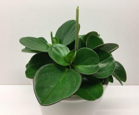 Pieprovec magnoliolistý, (Peperomia obtusifolia)