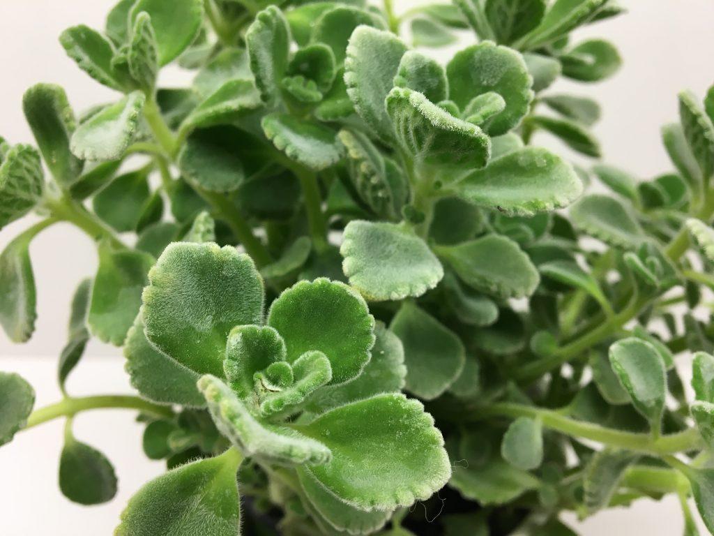 Plectranthus argentatus,