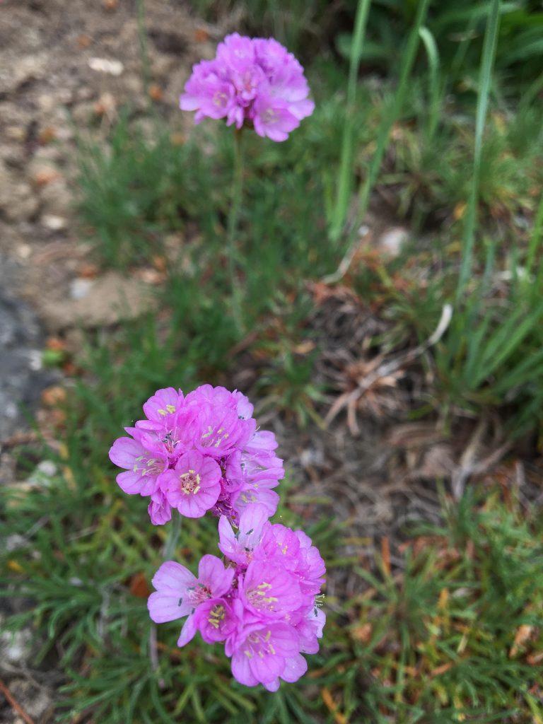 Trávnička trsnatá, (Armeria juniperifolia)