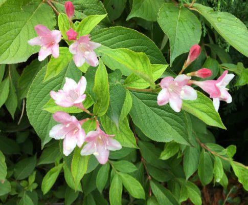 Vajgela kvetnatá, (Weigela florida)